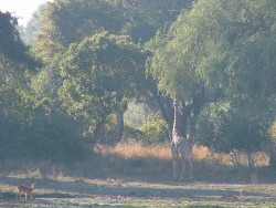La girafe de Thornicroft endémique au South Luangwa NP
